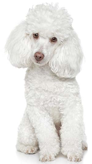 miniature toy poodle