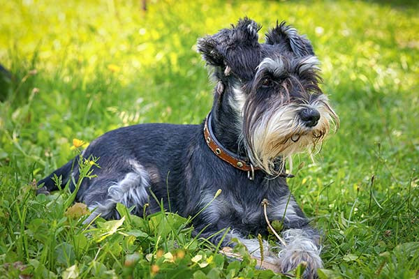Miniature Schnauzer silver and black lying in grass.jpg