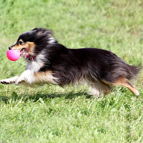 shetland sheepdog running with ball
