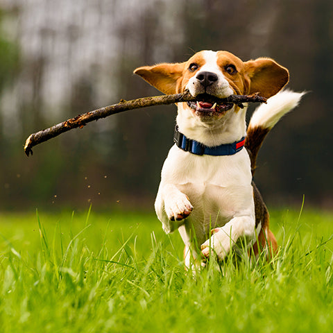 beagle dog playing fetch
