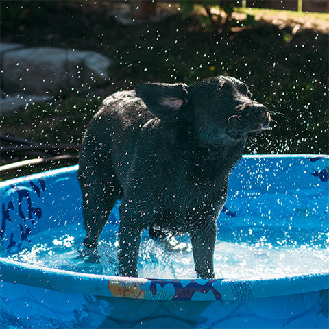 black lab in baby pool summer