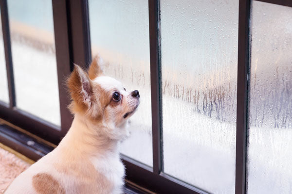 chihuahua looking at window on rainy day