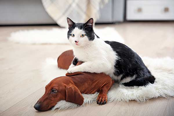 dachshund-with-cat-friends-ChewdUp