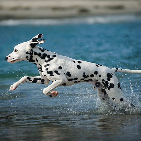 Dalmation dog running