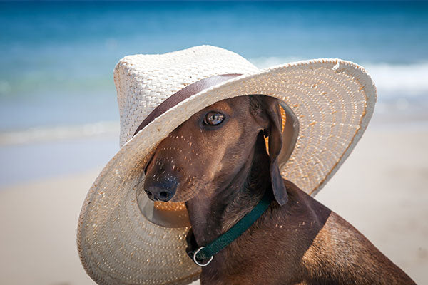 dachshund dog with hat summertime photo on beach