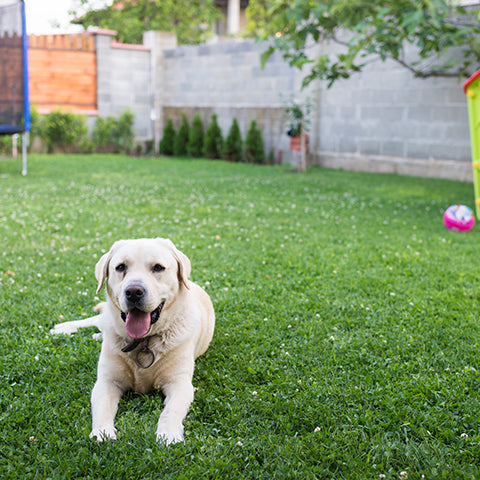 dog in backyard summertime