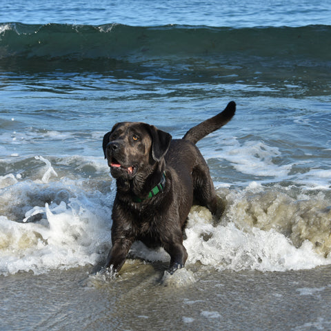 lab dog swimming in ocean