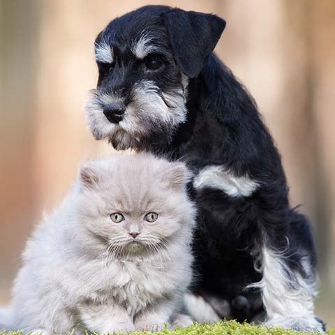 miniature schnauzer with cat Chewdup