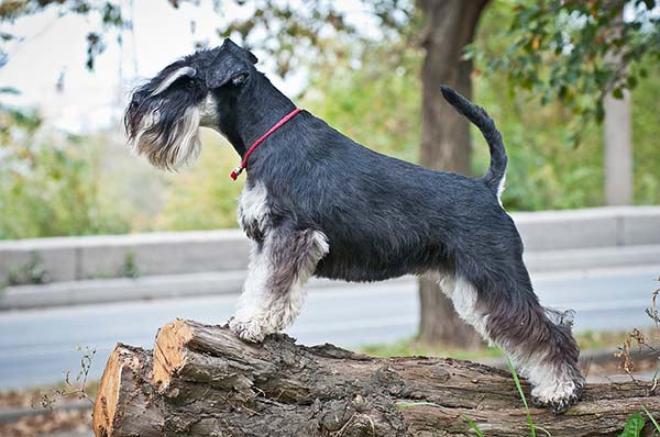 miniature schnauzer standing on dock ChewdUp