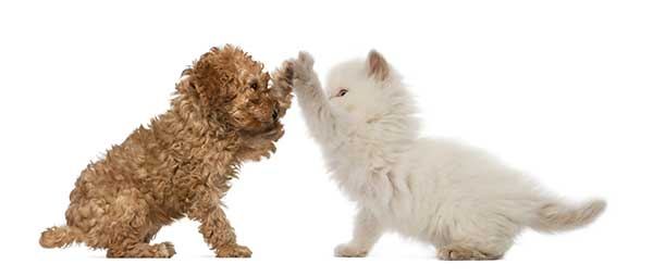 poodle-and-cat-high-five-ChewdUp.jpg