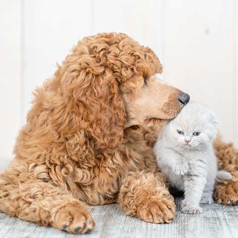 poodle-with-cat-Chewdup