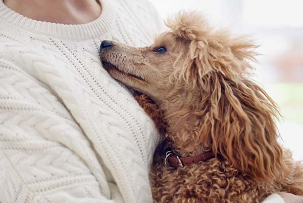 poodle snuggling with  owner