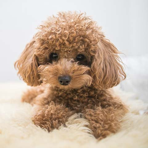 poodle toy main photo.jpg