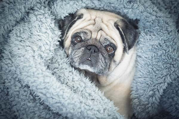 pug enjoying soft snuggly blanket