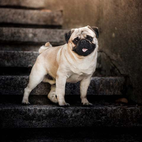 pug on concrete starirs - chewdup