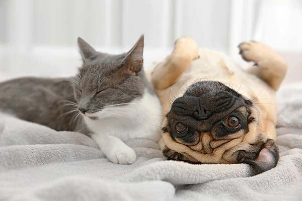 pug with cat on bed
