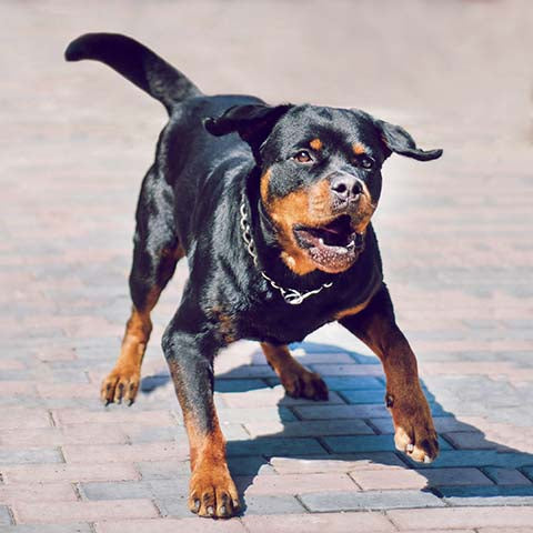 rottweiler barking protecting - ChewdUp
