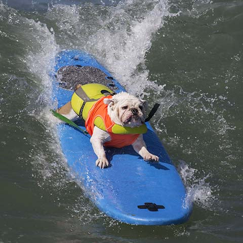 surfing dog bulldog riding a wave