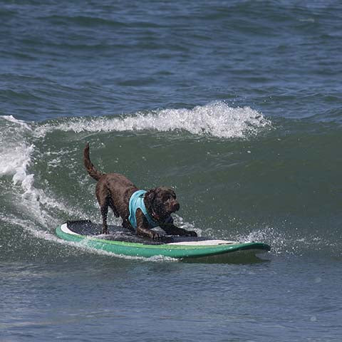 surfing dog riding a wave