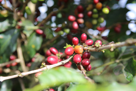 Ripe Coffee Cherries