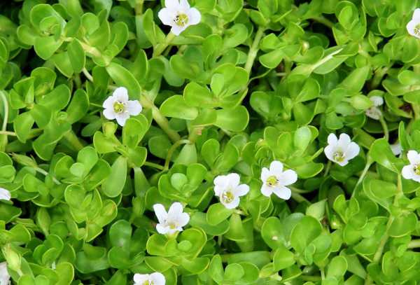 Bacopa Monnieri As A Brain Fog Cure