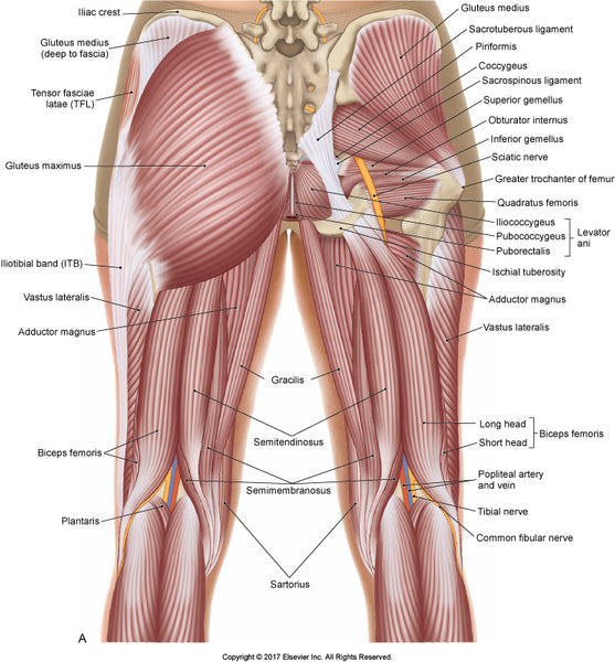 Image of the muscles in the glutes and thighs