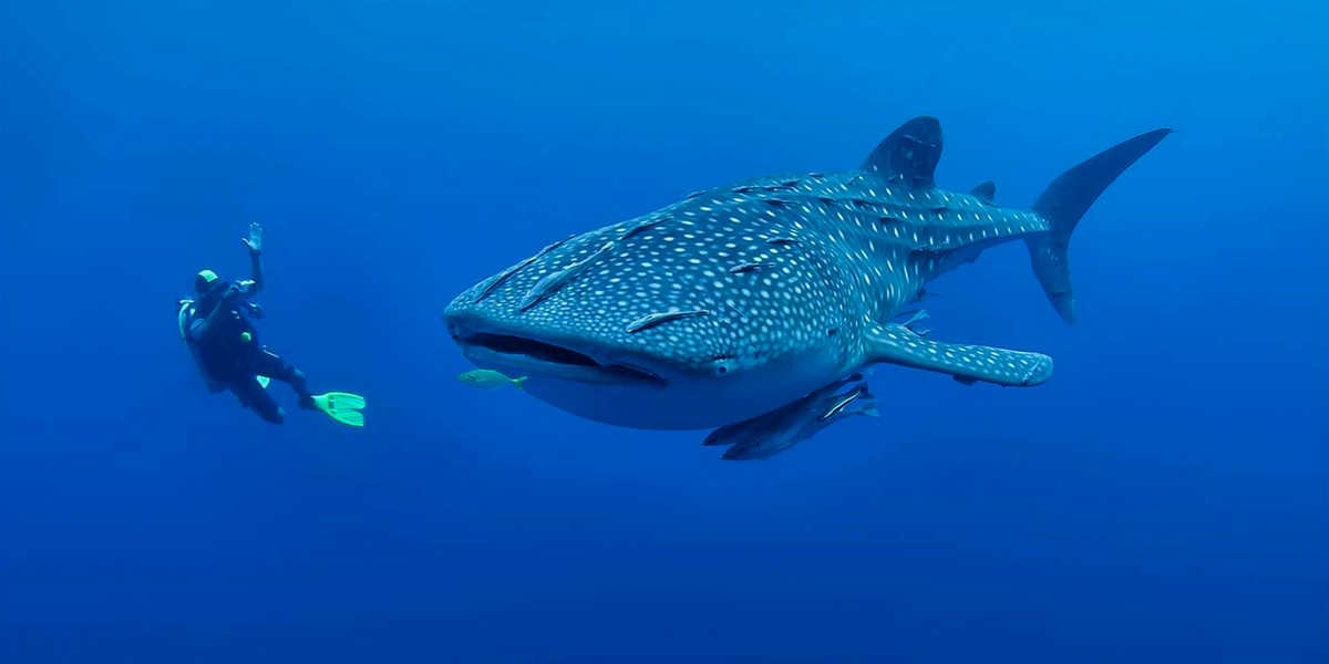 The best places to swim with whale sharks - Maldives - GoPro Camera Rentals