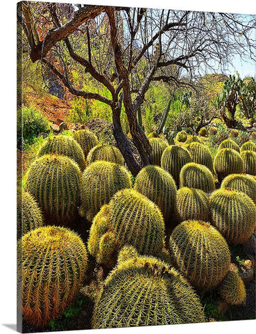 Barrel Cactus Canvas