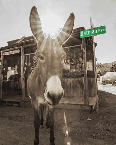 Oatman Highway Donkeys Sepia, Arizona