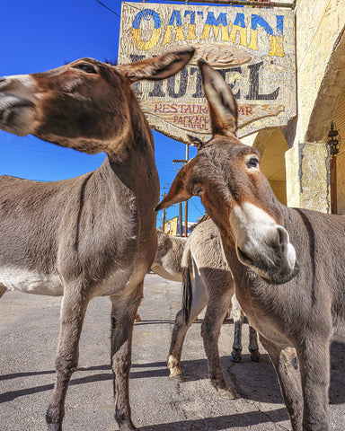 Wild and Crazy Donkeys, Arizona Metal Print
