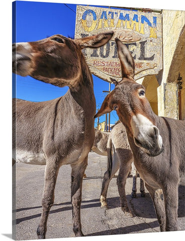 Wild and Crazy Donkeys, Arizona Canvas