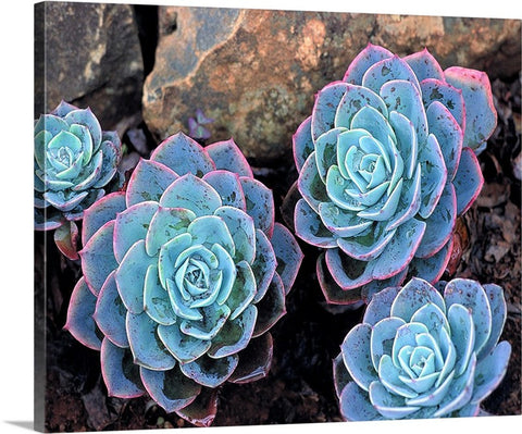 Succulents Canvas