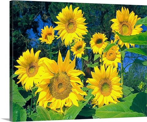 Sunflowers, The Happy Flower Canvas