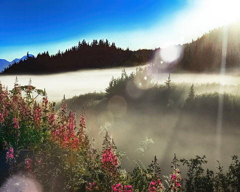 Fireweed Alaska Sunrise