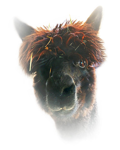 Alpaca Black Metal Print