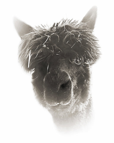 Alpaca Black Platinum Metal Print