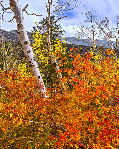 Autumn Color Vertical, Eastern Sierras, California