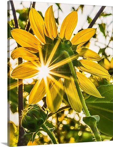 Backlit Sunflowers Canvas