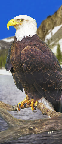 Bald Eagle Panoramic Standard Art Print