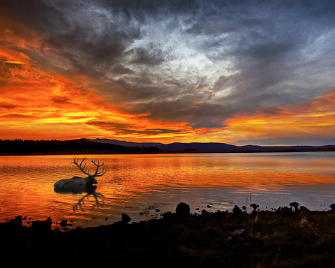 Big Lake Elk, White Mountains, Arizona