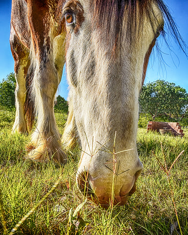 Big Eyed Clydesdale, Peaceful Giant