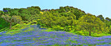 Blue Lupine Hillside Panoramic Metal Print