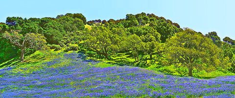 Blue Lupine Hillside Panoramic Standard Art Print