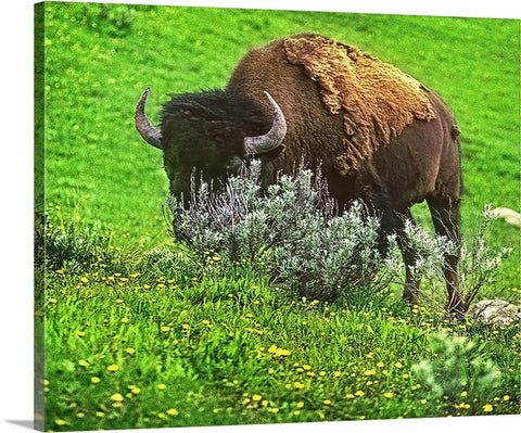 American Bison Canvas