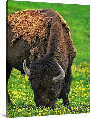 Buffalo Grazing Canvas