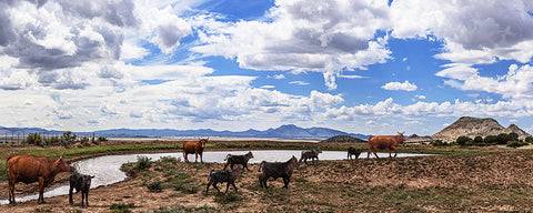 Cattle at the Watering Hole, Chino Valley, Arizona Panoramic