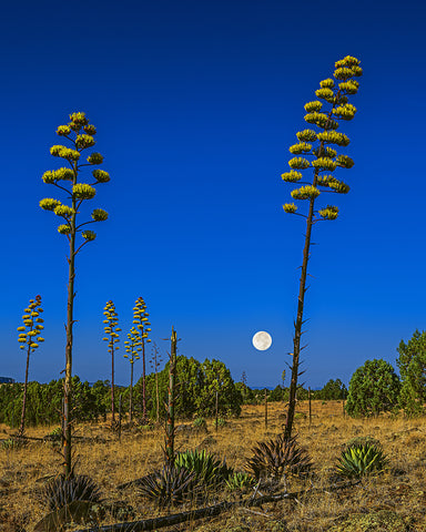 Century Plant, Full Moon, Sunrise, Arizona