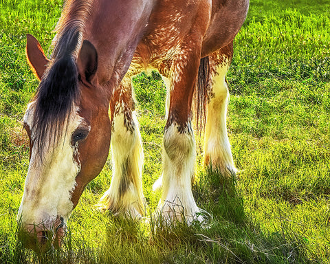Clydesdale, Peaceful Giant Metal Print