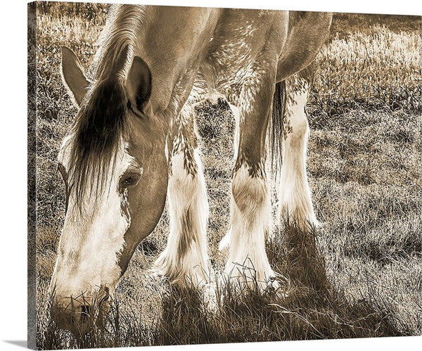 Clydesdale, Peaceful Giant Sepia Canvas