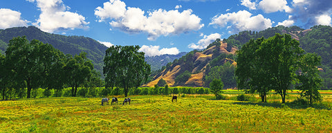 Coastal Valley Horses and Oaks, California Panoramic Standard Art Print